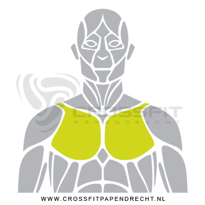 Spier groep Chest Pectoralis Major